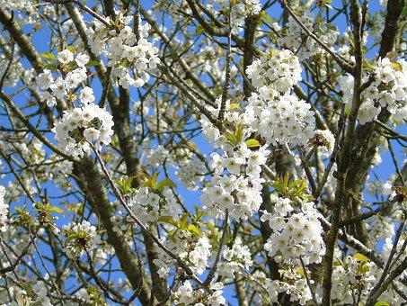 Tree, Branch, Cherry, Flower, Season, Blooming, Apple