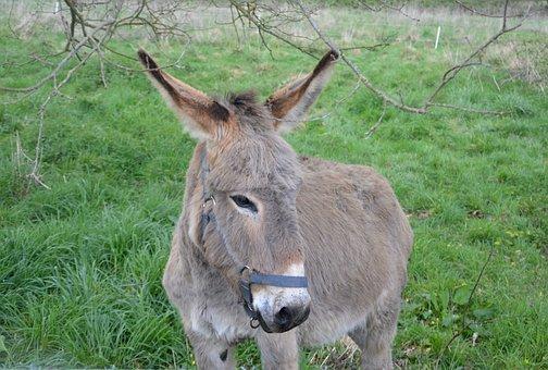 Donkey, Ass Nanon, Gray Donkey, Ass Saint André