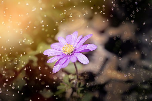 Balkan Anemone, Anemone, Flower, Forest Flower, Blossom