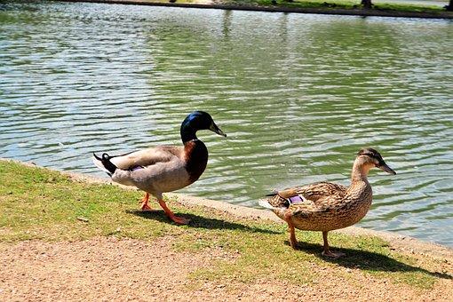 Duck, Bird, Lake, Pool, Nature, Wildlife, Animal, Water
