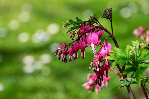 Bleeding Heart, Flower, Blossom, Bloom, Pink, Heart