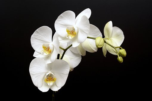 Orchid, Flower, Blossom, Bloom, Bud, Tropical, White