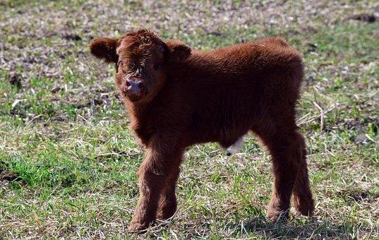 Calf, Brown, Small, Young Animal, Boy, Galloway