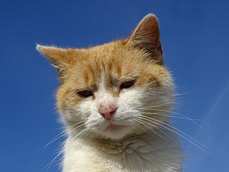 Cat, Animal, Pet, Domestic Cat, Cat Portrait, Redheaded