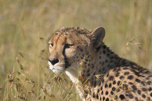 Wildlife, Mammal, Nature, Cat, Animal, Cheetah