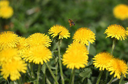 Dandelion, Bee, Insecta, Pollen, Yellow, Flower, Spring