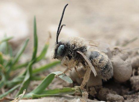 Bee, Insecta, Macro, Wild, Ground, Nature, Detail