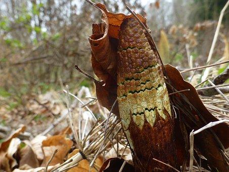 Horsetail, Equisetum Arvense, Sporangia Spike