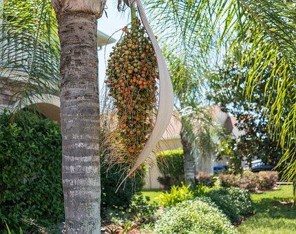 Palm Tree, Berries, Flora, Garden, Nature, Summer