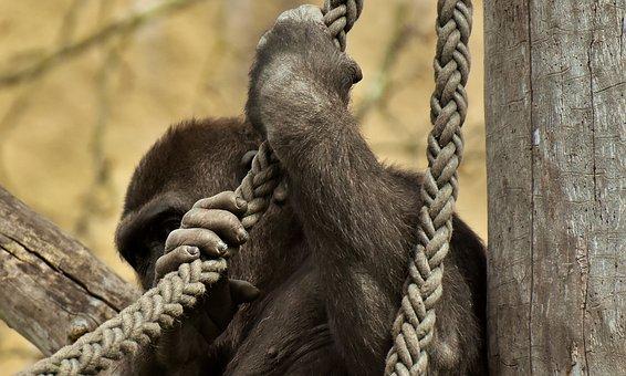 Gorilla, Hide, Funny, Monkey, Animal, Furry, Omnivore
