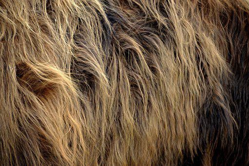 Nature, Fur, Cows Highland Cattle, Animal, Close Up