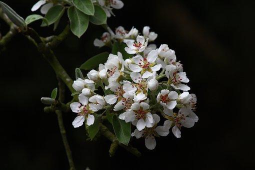 Flower Of Pear, Poirier, Nature, Orchard, Garden
