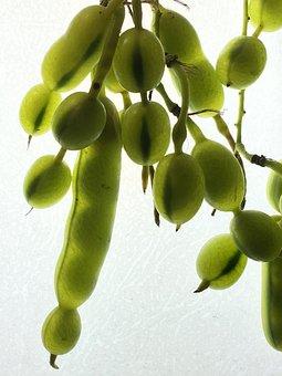 Trasluz, Seeds, Background, Plant, Fruit, Grain