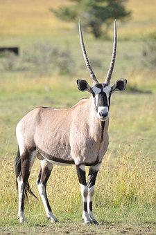 Mammal, Wildlife, Animal, Antelope, Grass, Wild, Safari
