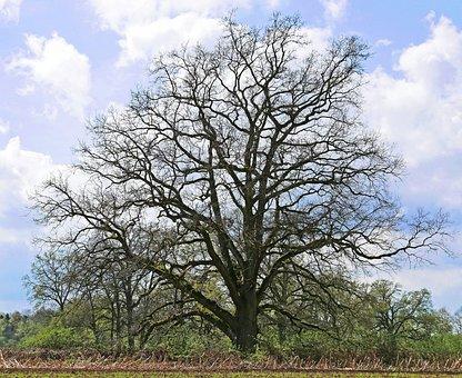 Old Oak, Solitaire, Wood, Landscape, Spring, Foliation