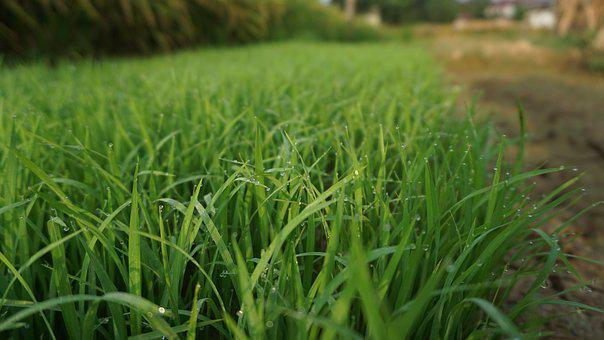 Lawn, Field, Kinds Of Food, Nature, Plant, Rice