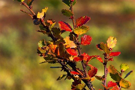 The Nature Of The, Leaf, Autumn, Dwarf Birch