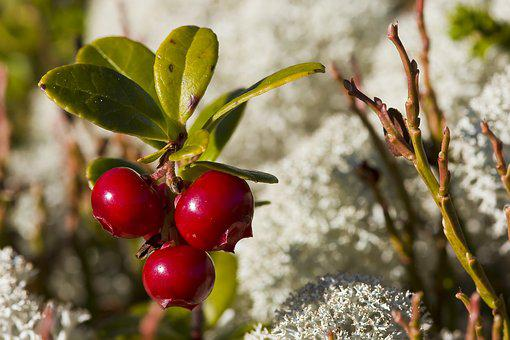 Berries, Fruit, Plant, Leaves, Foliage, Autumn