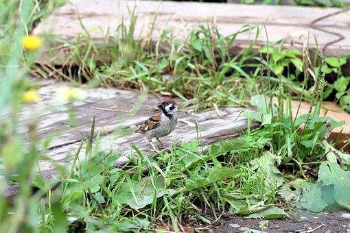 Sparrow, Passer Montanus, Nature, Little, Outdoors