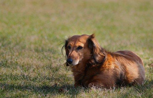 Dachshund, Dog, Animal, Lying