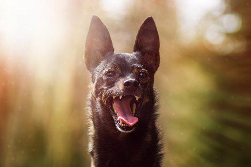Dog, Miniature Pinscher, Animal, Cute, Nature, Mammal