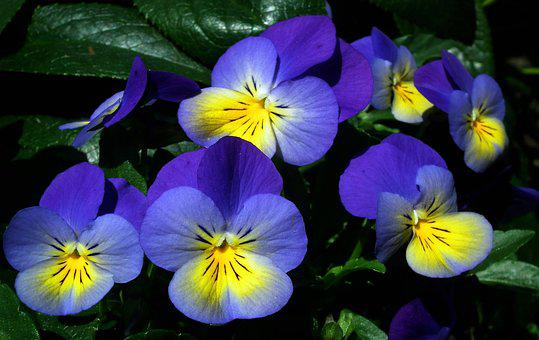 Flower, Pansies, Colorful, Spring, Garden, Nature