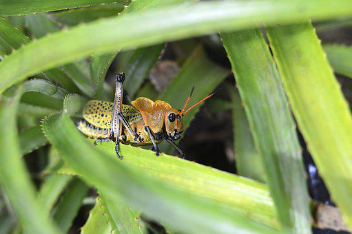 Insect, Wild, Animal, Nature, Green, Grasshopper