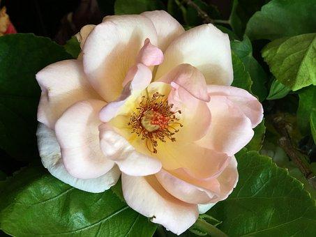 Pink Rose, Pistils, Flower, Stamens, Rosa, Pink, Petals