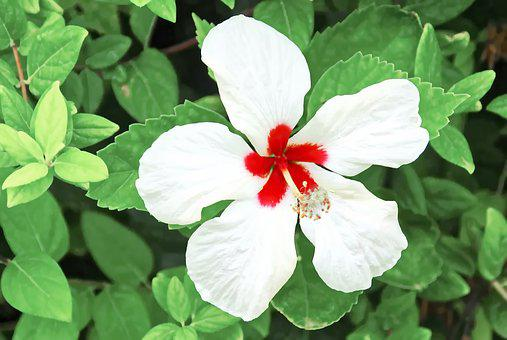 Hibiscus, Pollination, Flower, White Flower, Red Heart