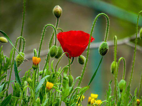 Poppy, Flower, Nature, Wild Flowers, Spring, Red