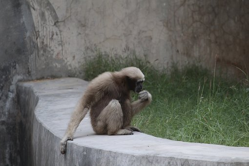 Monkey, Zoo, Wildlife, Mammal, Nature, Animal, Primate