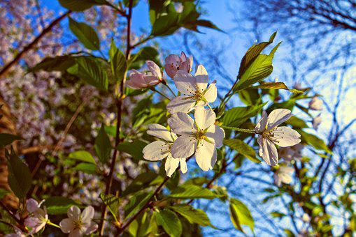 Cherry Blossom, Flower, Cherry Tree, Branch, Sakura