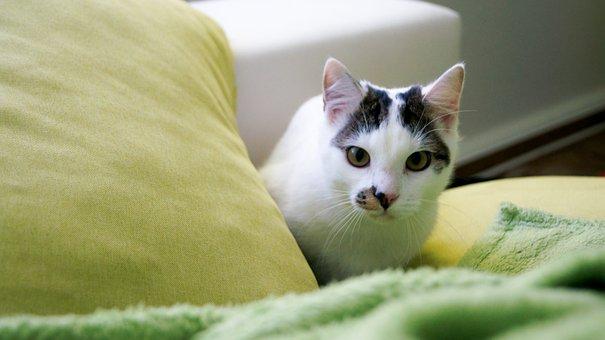 Cute, Cat, Animal, Pet, Sweet, Beauty Spot, White