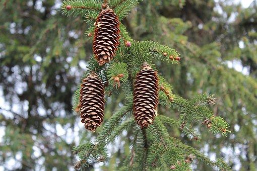 Tree, Nature, No One, Pine