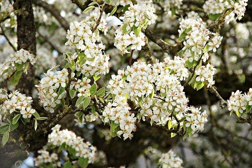 Pear, Pear Tree, Flower, Tree, Branch, Season