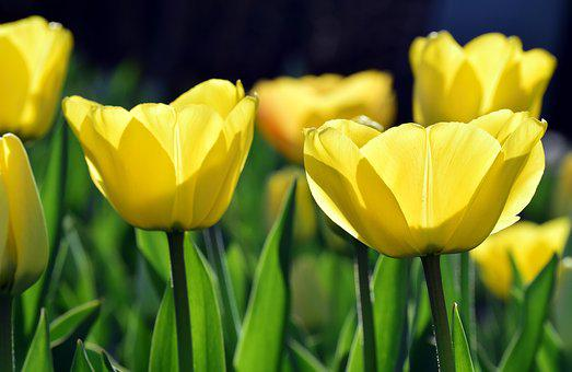 Bright, Back Light, Yellow, Tulips, Close, Nature