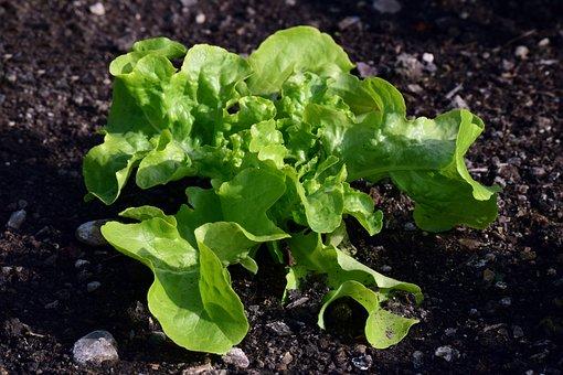 Earth, Vegetables, Leaf, Lettuce, Nature