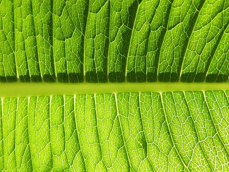 Leaf, Plant, Ecology, Vein