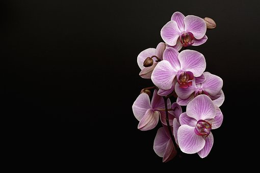 Orchid, Flower, Blossom, Bloom, Bud, Tropical, Violet