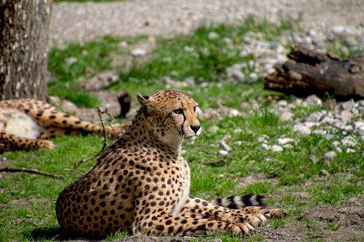 Cheetah, Predator, Animal World, Wild Animal, Dangerous