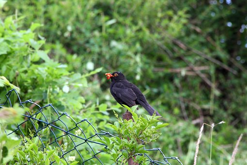 Nature, Bird, Animal World, Animal, Wild, Blackbird