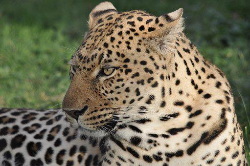 Wildlife, Nature, Cat, Leopard, Animal, Mammal