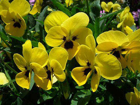 Flower, Pansies, Yellow, Garden, Plant, Leaf, Nature