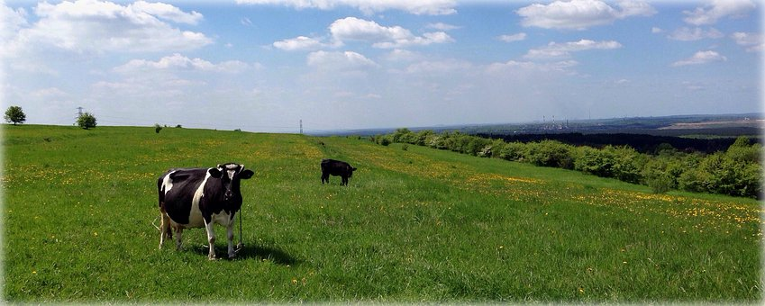 Meadow, Animal, Pasture Land, Cow, Rumination, Animals