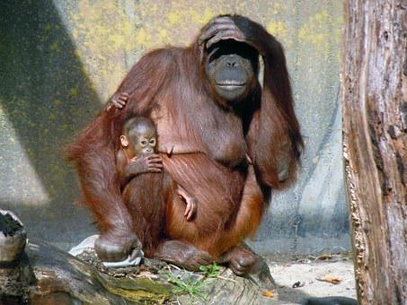 Orang Utan, Ape, Monkey Family, Mother, Child