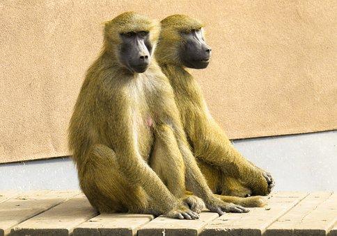 Monkey, Baboon, Pair, Sit, Cohesion, Tiergarten