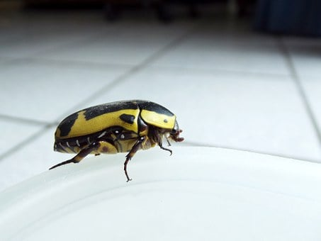 Fruit Bug, Beetle, Yellow, Big, Black, Bug, Insect