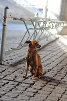 Dog, Bike Racks, Pinscher, Chihuahua, Paving Stones
