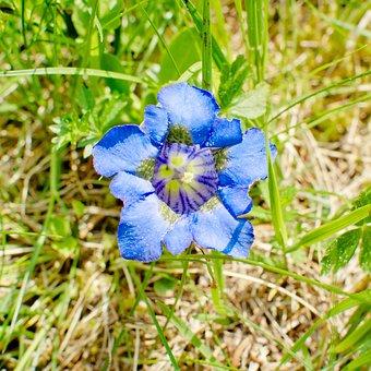 Clusius Gentian, Blossom, Bloom, Alpine Gentian