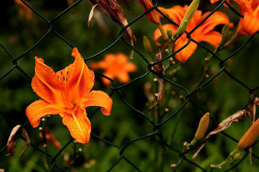 Flower, Blossom, Bloom, Caught, Fence, Grid, Plant